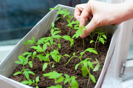 tomatensamen einpflanzen