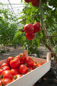 Tomaten liegen in Holzkiste.