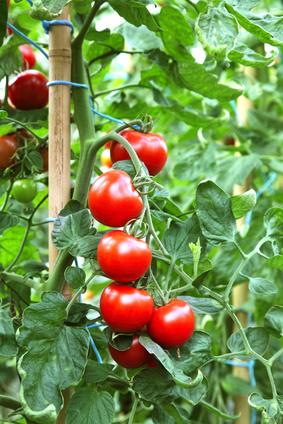 Reife, rote Tomaten
