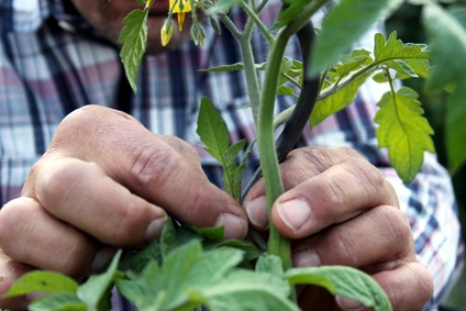 junge tomatenpflanzen pikieren
