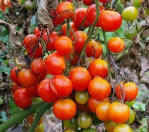 Tomaten mit Braunfäule
