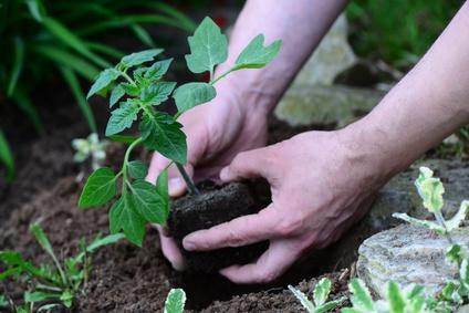 eine Tomatenpflanze beim einpflanzen